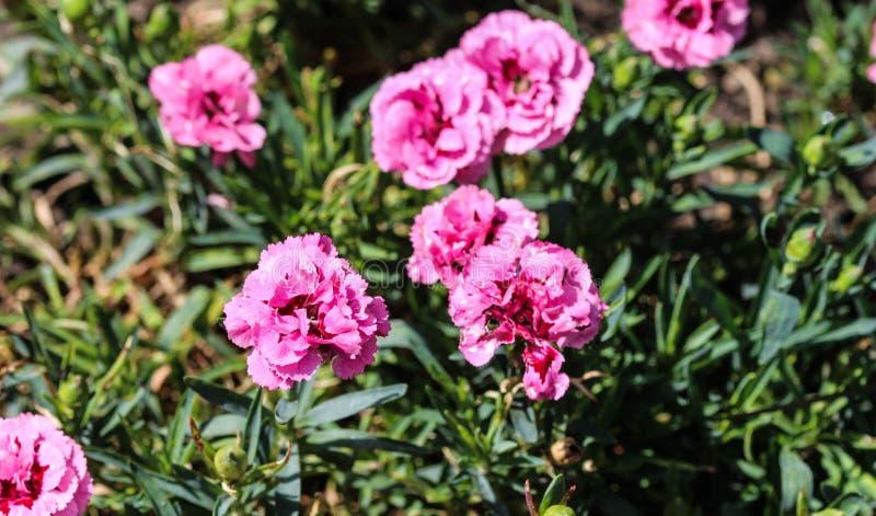 Dianthuscaryophyllusen som gemensamt är bekant som nejlika- eller kryddnejlikarosa färgerna, är art av dianthusen Denna blomma bl arkivfoto