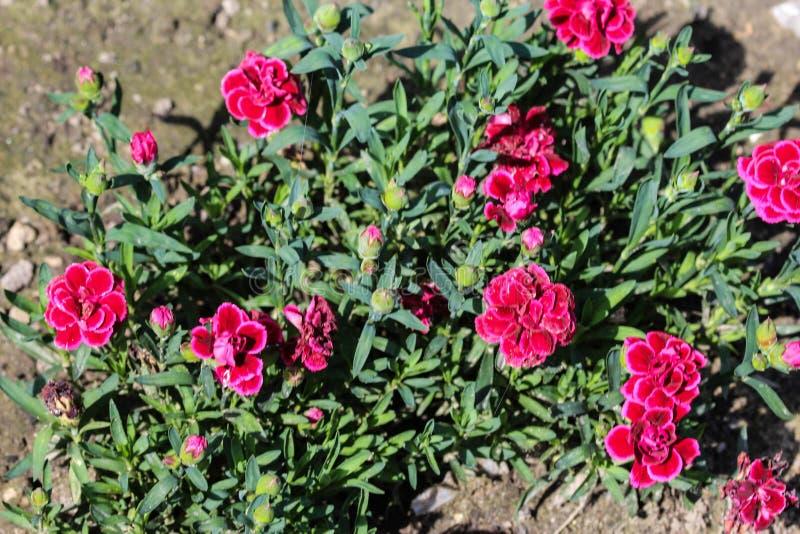 Dianthuscaryophyllusen som gemensamt är bekant som nejlika- eller kryddnejlikarosa färgerna, är art av dianthusen Denna blomma bl fotografering för bildbyråer