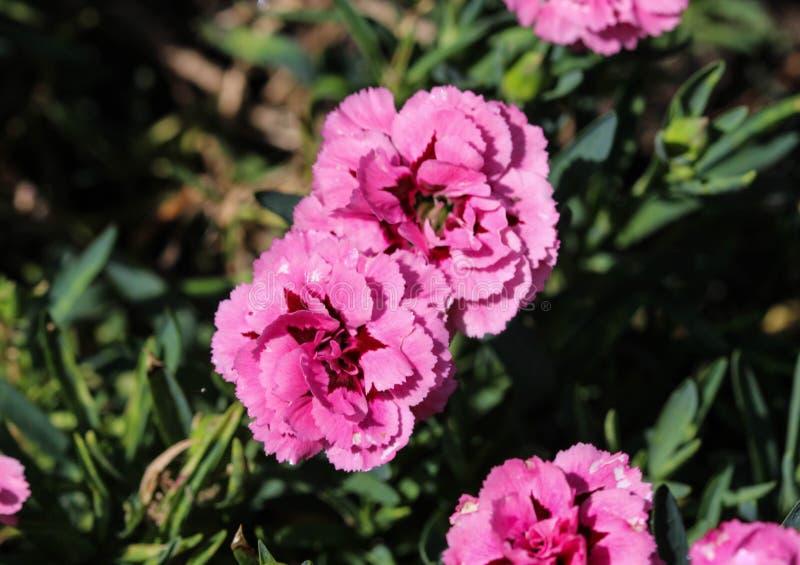 Dianthuscaryophyllusen som gemensamt är bekant som nejlika- eller kryddnejlikarosa färgerna, är art av dianthusen Denna blomma bl arkivbilder