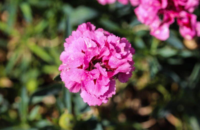 Dianthuscaryophyllusen som gemensamt är bekant som nejlika- eller kryddnejlikarosa färgerna, är art av dianthusen Denna blomma bl royaltyfri bild