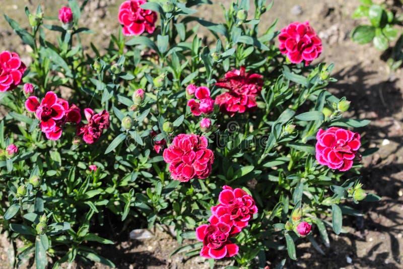Dianthuscaryophyllusen som gemensamt är bekant som nejlika- eller kryddnejlikarosa färgerna, är art av dianthusen Denna blomma bl royaltyfri foto