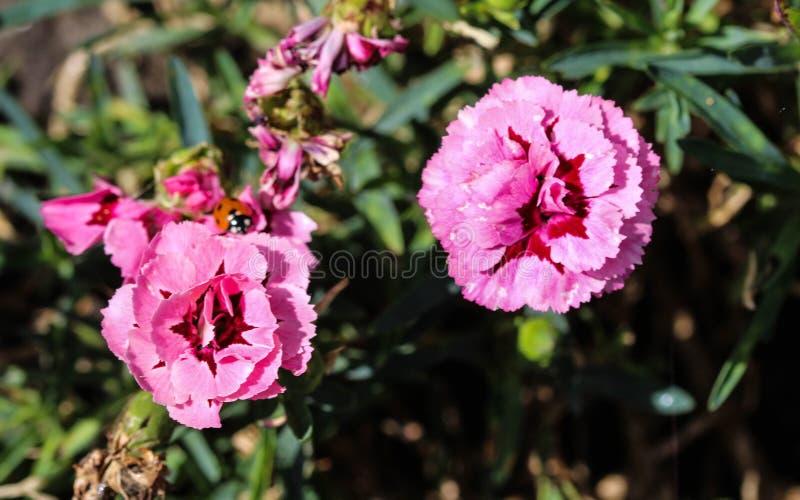 Dianthuscaryophyllusen som gemensamt är bekant som nejlika- eller kryddnejlikarosa färgerna, är art av dianthusen Denna blomma bl royaltyfri fotografi