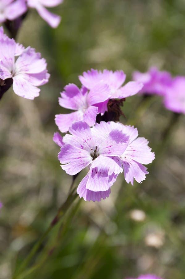 Dianthusnitidus, speciale plantensoort Lesser Fatra, bos van bloemen in bloei stock foto