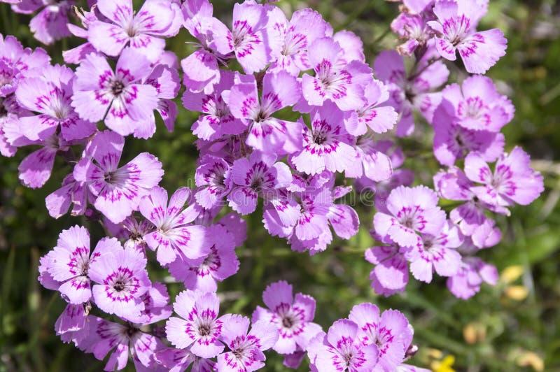 Dianthusnitidus, speciale plantensoort Lesser Fatra, bos van bloemen in bloei royalty-vrije stock fotografie