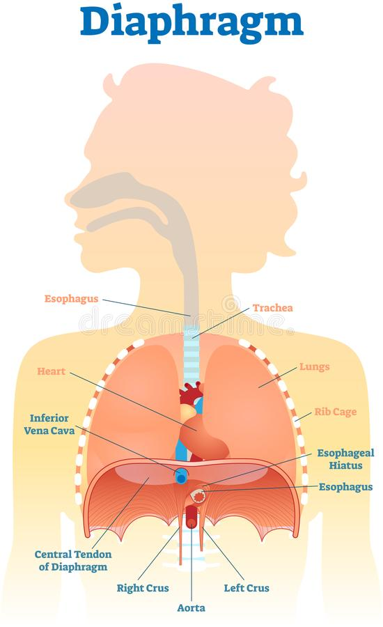 Diaphragm Anatomical Vector Illustration Diagram, Educational ...