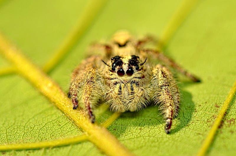 Diardi de Hyllus da aranha 2 imagem de stock