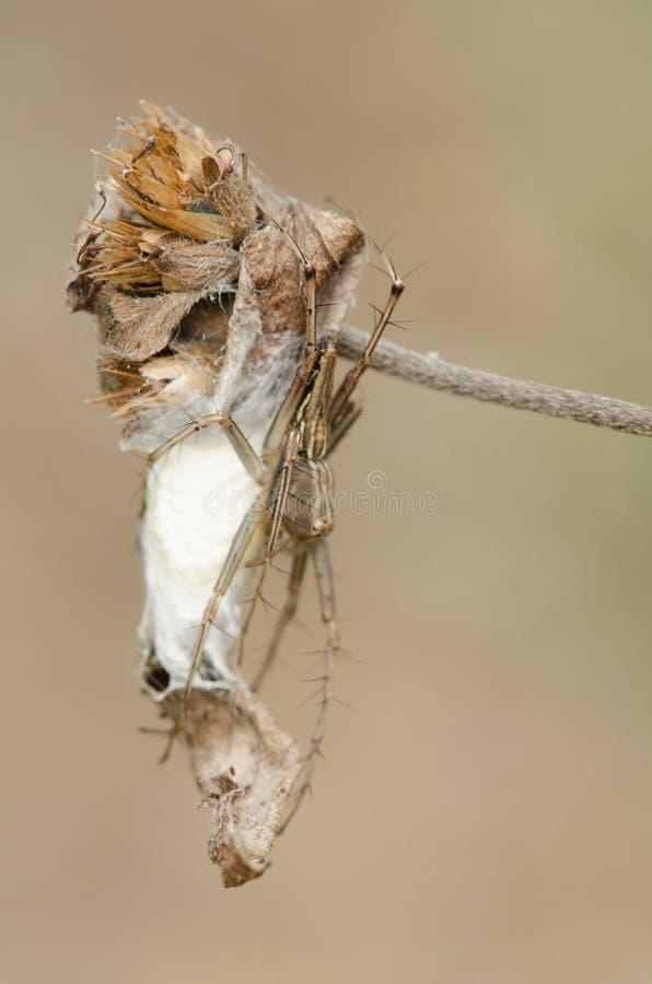 Diardi de Hyllus da aranha 3 foto de stock