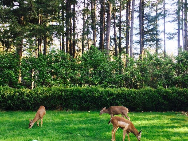 Diario de los ciervos foto de archivo libre de regalías