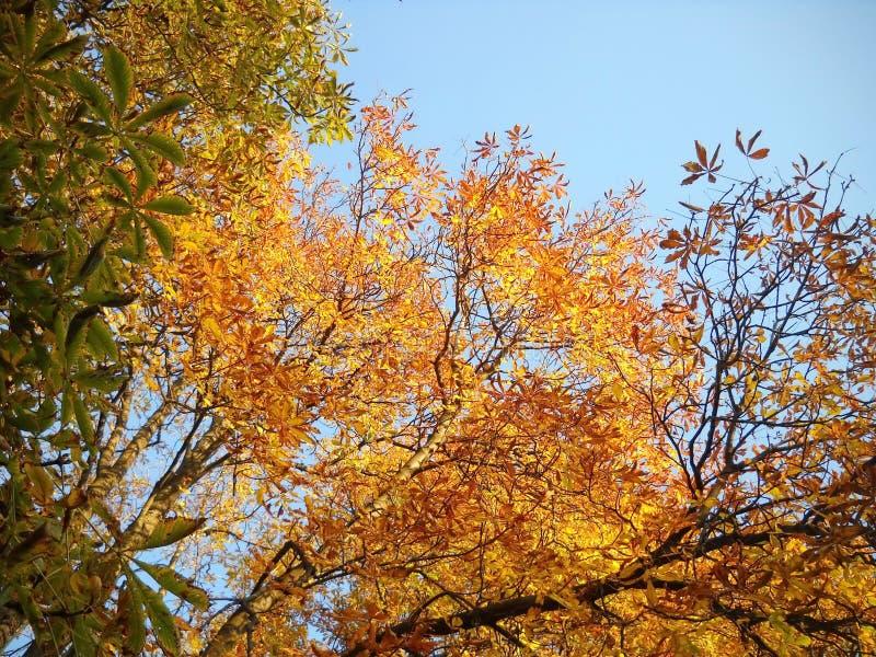Dias outonais na copa de árvore da castanha imagem de stock royalty free
