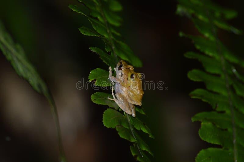 Diasporus diastema stock photo