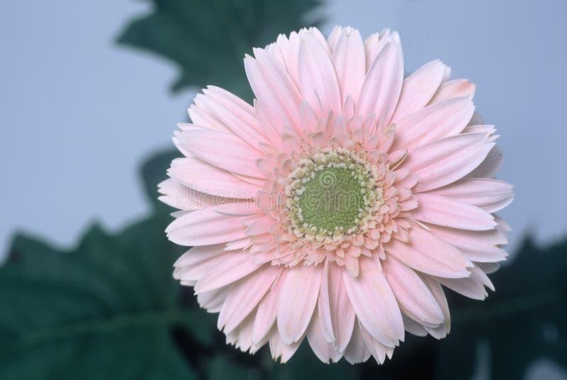 Download Diasy gerbera arkivfoto. Bild av pink, pedaler, detalj, överkant - 48310