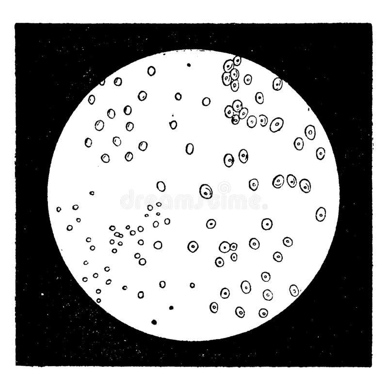 Diatomáceo elemental Monos, grabado vintage stock de ilustración