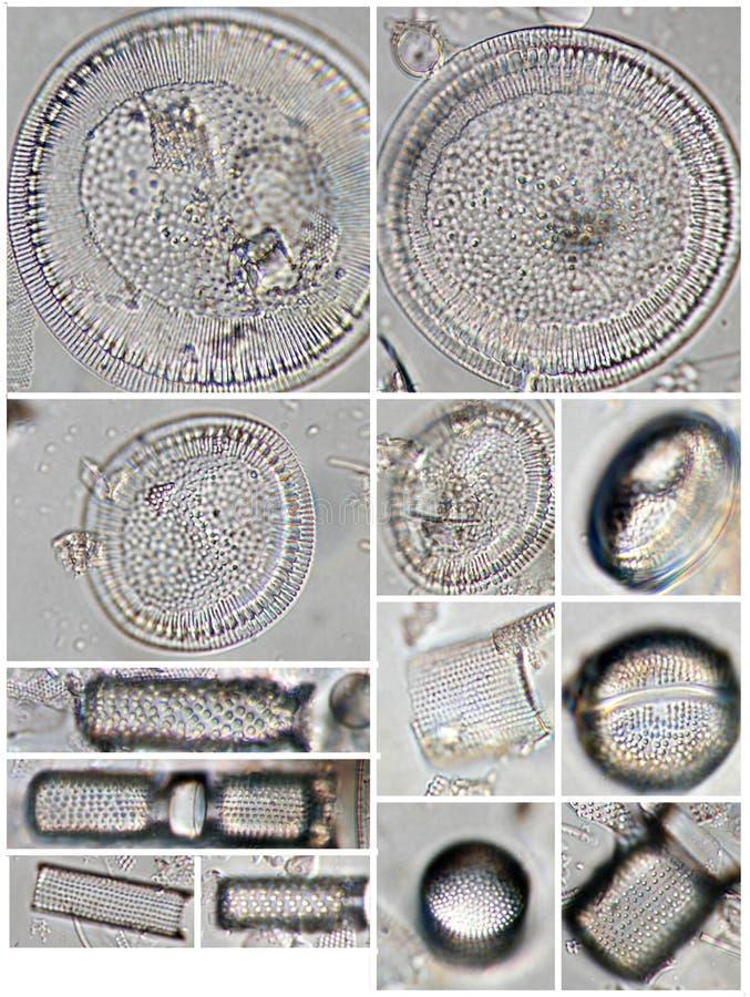 Diatomee - speci di Aulacoseira e di Cyclotella. fotografia stock