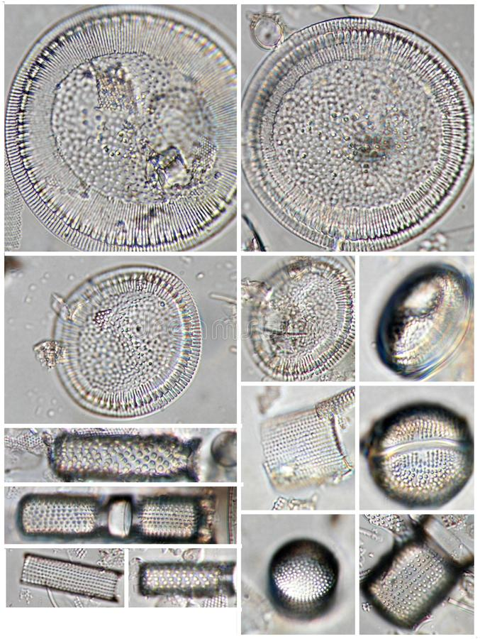 Diatomeen - Cyclotella und Aulacoseira spp. stockfotografie
