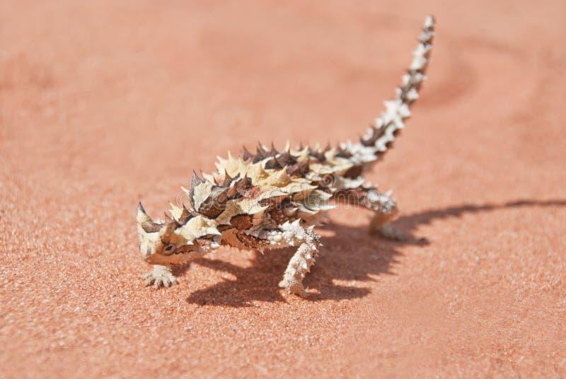 Diavolo spinoso con ombra sulla sabbia di colore rosso outback immagine stock libera da diritti