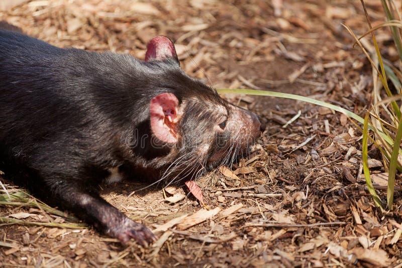 Diavolo tasmaniano immagine stock