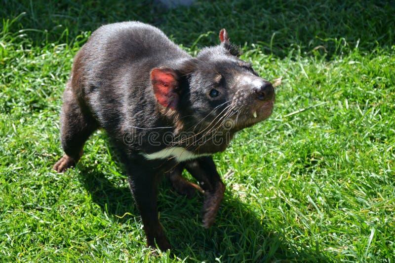 Diavolo tasmaniano ad erba fotografia stock