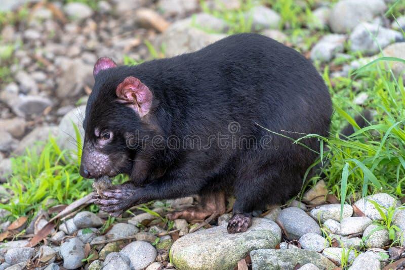 Diavolo tasmaniano che mangia alimento mentre sedendosi sulle rocce fotografia stock