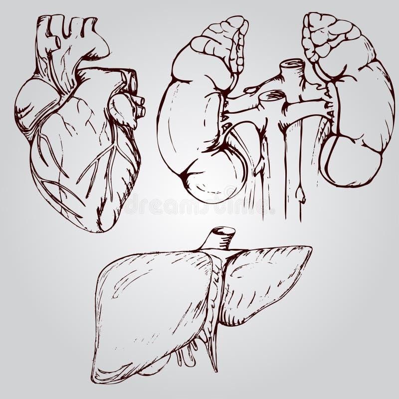 Dibujo Anatómico Del Corazón, Del Hígado Y De Los Riñones ...