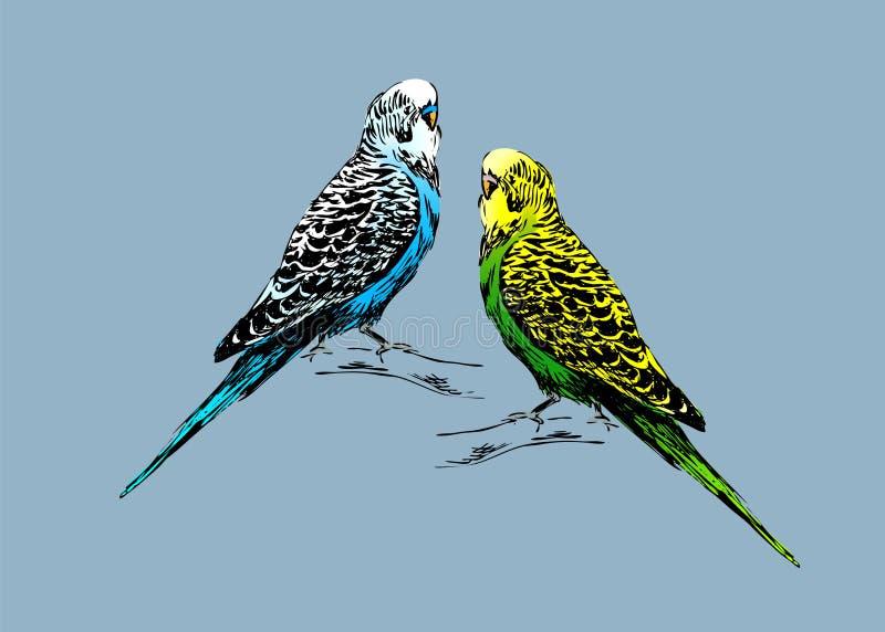 Dibujo coloreado de dos budgies stock de ilustración
