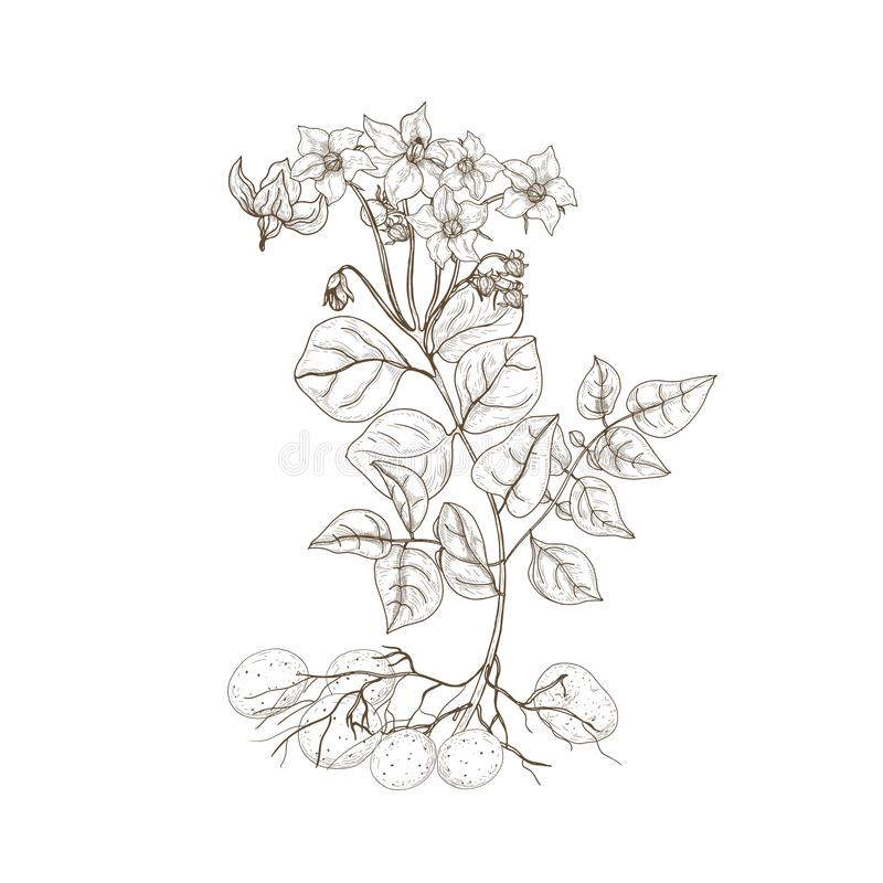 Dibujo de esquema monocromático de la planta de patata con las flores, las raíces y los tubérculos Comestible cultivó la mano tub libre illustration