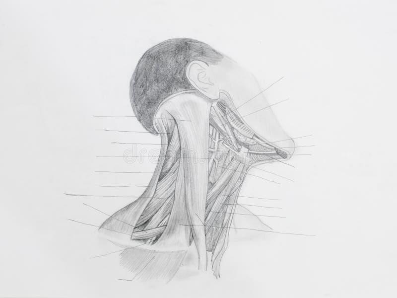 Dibujo De Lápiz Delantero De Los Músculos Del Cuello Imagen de ...