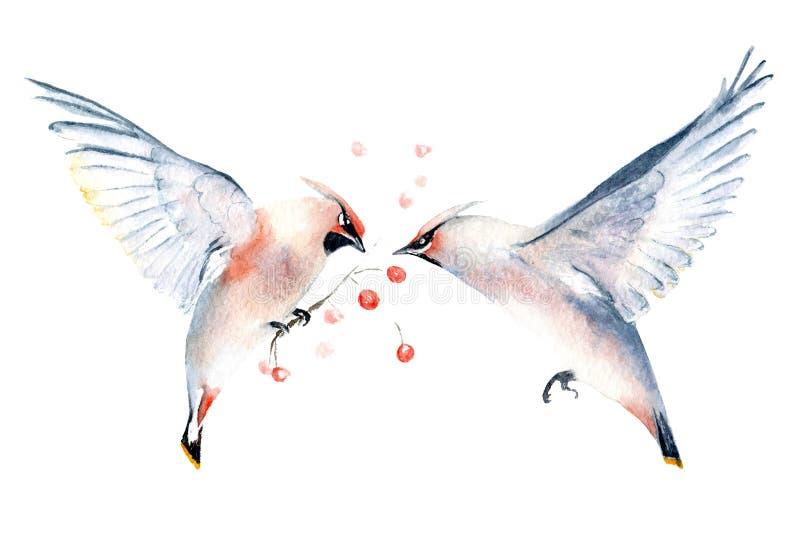 Dibujo de la acuarela del waxwing de los pájaros en una rama y en vuelo stock de ilustración
