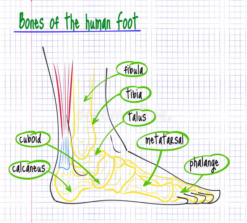 Dibujo de la anatomía del pie humano stock de ilustración