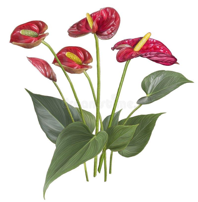 Dibujo de la flor roja del Anthurium ilustración del vector