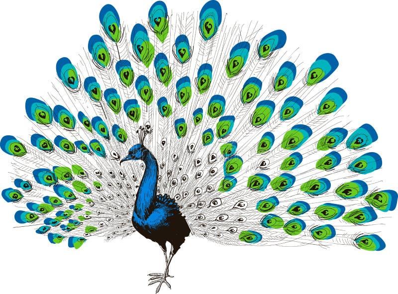 Dibujo de la mano del pavo real ilustración del vector