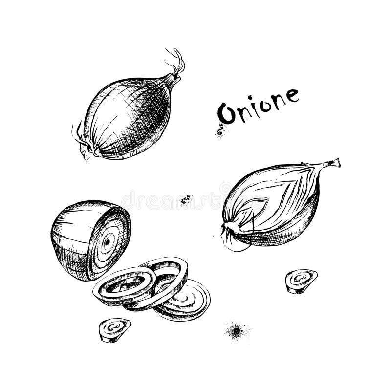 Dibujo de la mano del vector del onione para el diseño foto de archivo libre de regalías
