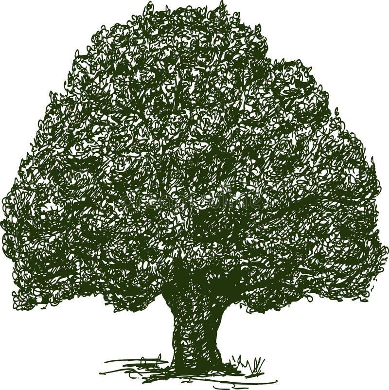 Dibujo de la mano de un roble viejo ilustración del vector