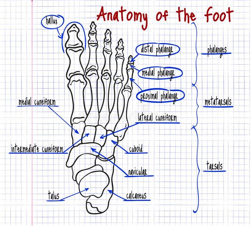 Dibujo De Los Huesos De Pie Humano Ilustración del Vector ...