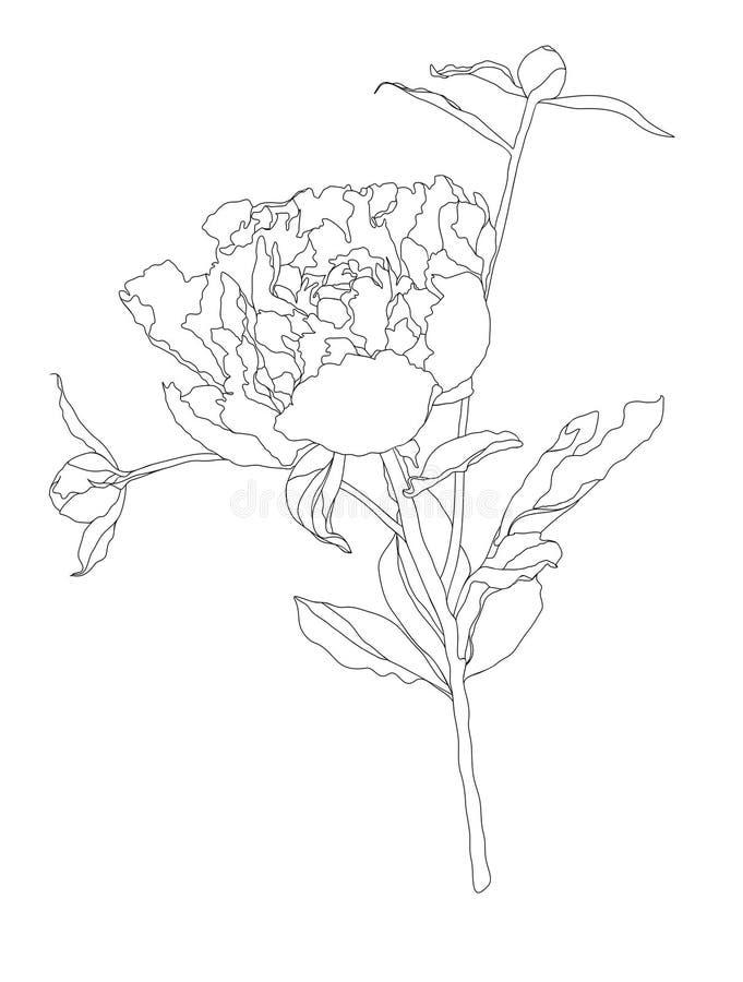 Dibujo del contorno de la peonía ilustración del vector