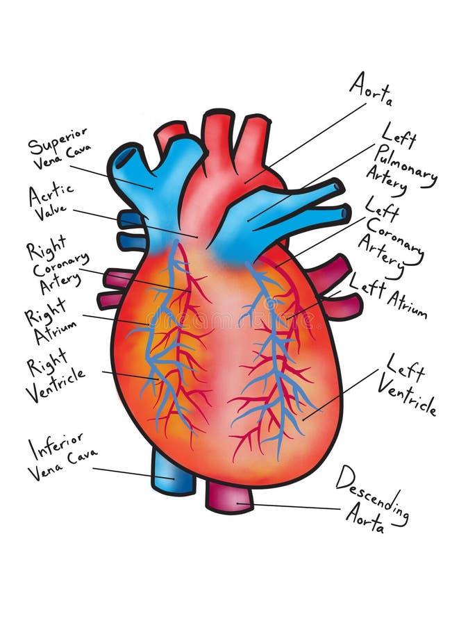 Dibujo Del Ejemplo Humano Del Diagrama Del Corazón Imagen de archivo ...