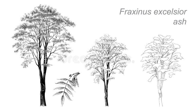 Dibujo del vector de la ceniza (virutas para rellenar del Fraxinus) stock de ilustración