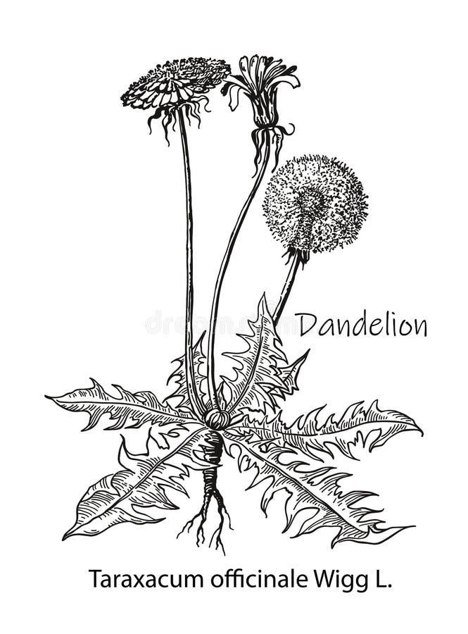 Dibujo del vector de la flor del diente de león Planta silvestre y hojas aisladas Ejemplo grabado herbario del estilo Bot?nico de stock de ilustración