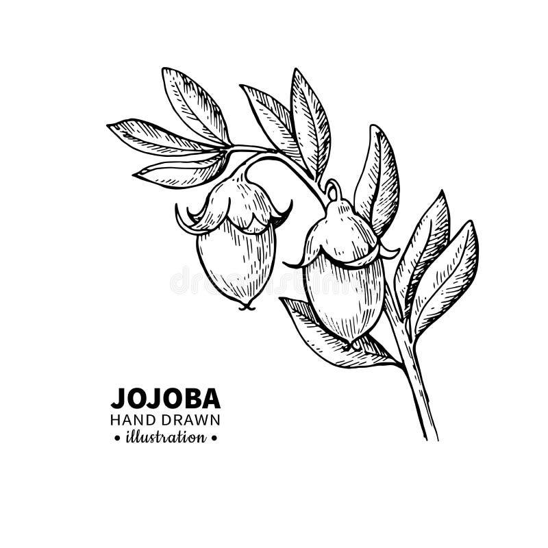 Dibujo del vector de la jojoba Ejemplo aislado del vintage de la fruta Bosquejo grabado orgánico del estilo del aceite esencial stock de ilustración