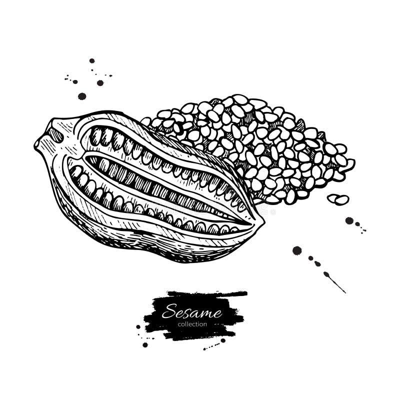 Dibujo del vector de la nuez y de la semilla del sésamo Dé el ingrediente alimentario exhausto ilustración del vector