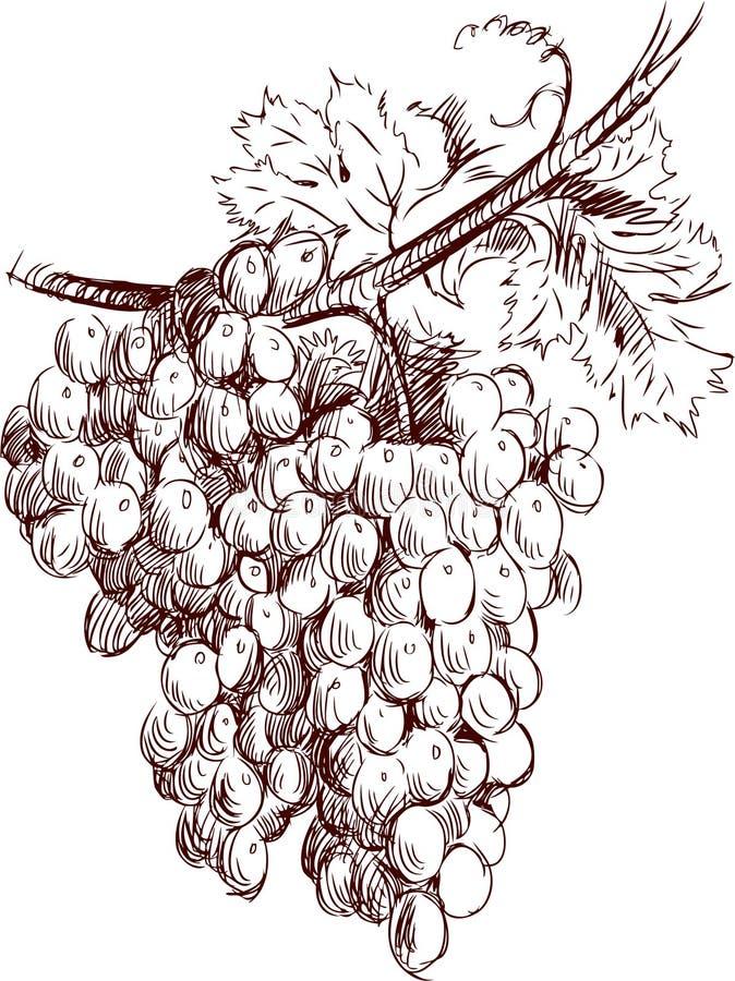 Manojo de uvas ilustración del vector