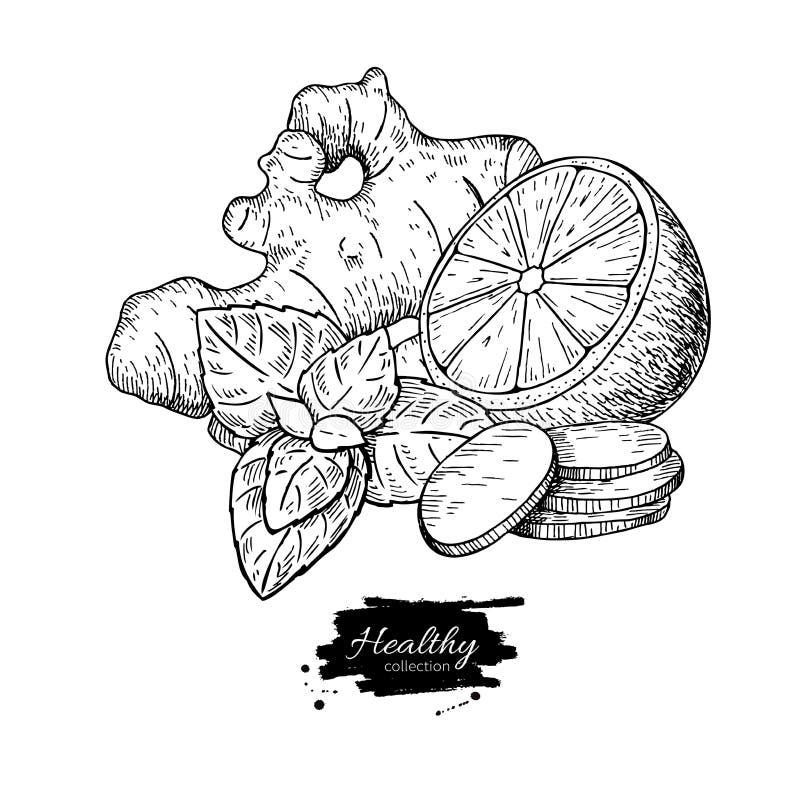 Dibujo del vector del jengibre, del limón y de la menta Raíz, hoja del hearb y frui libre illustration
