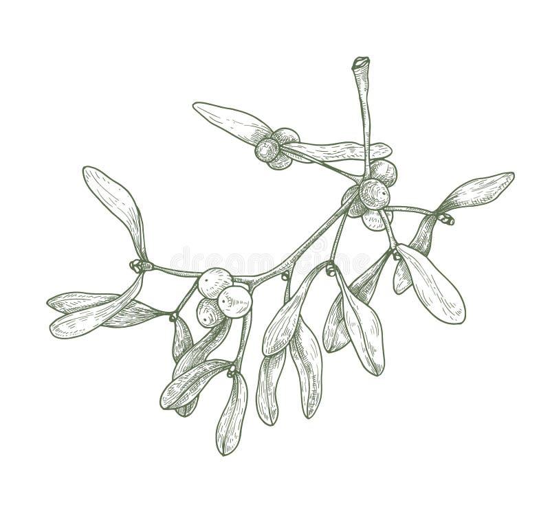 Dibujo detallado exhausto de la mano de la puntilla del muérdago con las bayas y las hojas Planta venenosa Vacaciones de invierno libre illustration