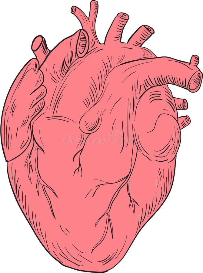 Dibujo Humano De La Anatomía Del Corazón Ilustración del Vector ...