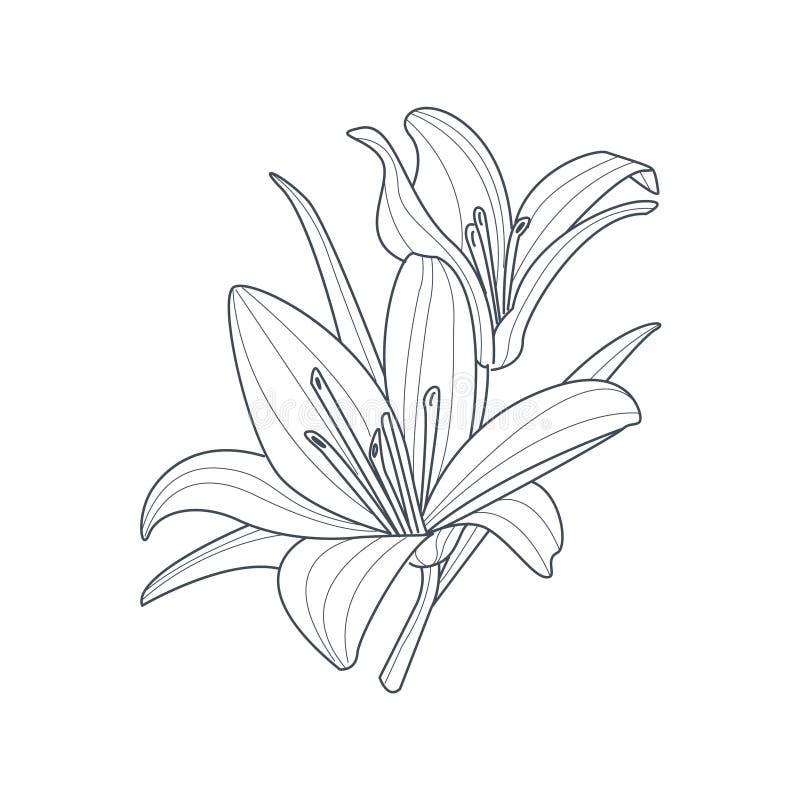 Dibujo monocromático de la flor de dos lirios para el libro de colorear stock de ilustración