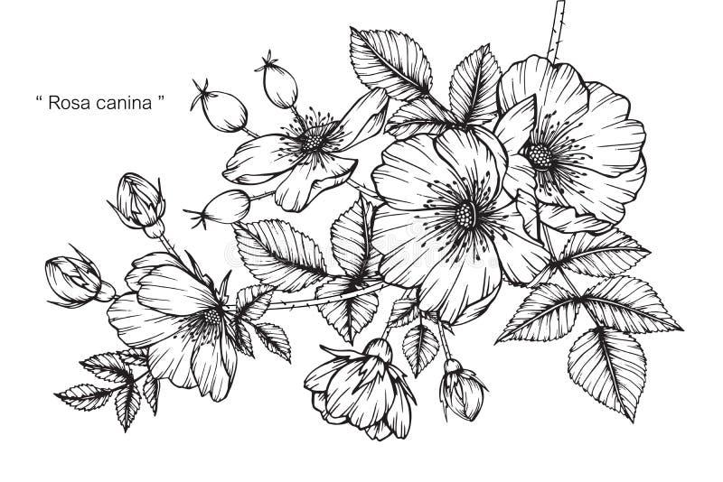 Dibujo y bosquejo de la flor del canina de Rosa stock de ilustración
