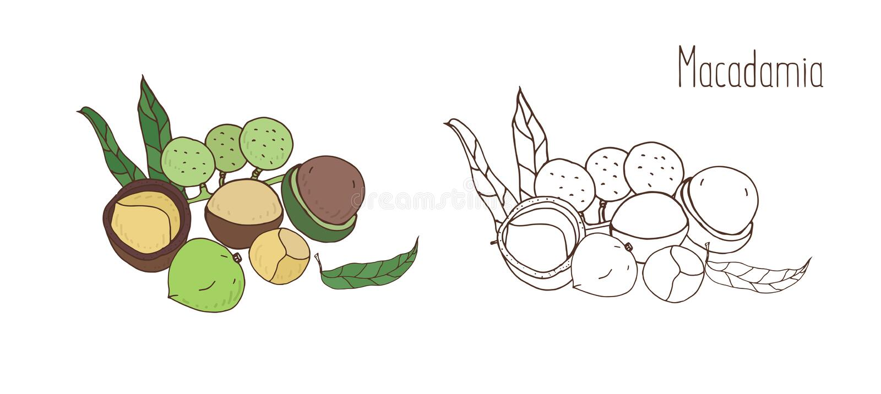 Dibujos coloreados y monocromáticos de la macadamia en cáscara y descascado con las hojas Drupas o mano comestibles deliciosas de ilustración del vector