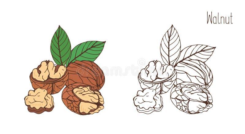Dibujos coloreados y monocromáticos de la nuez en cáscara y descascado con pares de hojas Drupas o mano comestibles deliciosas de stock de ilustración