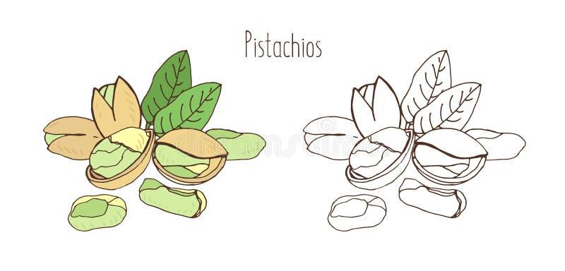 Dibujos coloreados y monocromáticos de pistachos en cáscara y descascado con pares de hojas Drupas o nuez comestibles deliciosas stock de ilustración