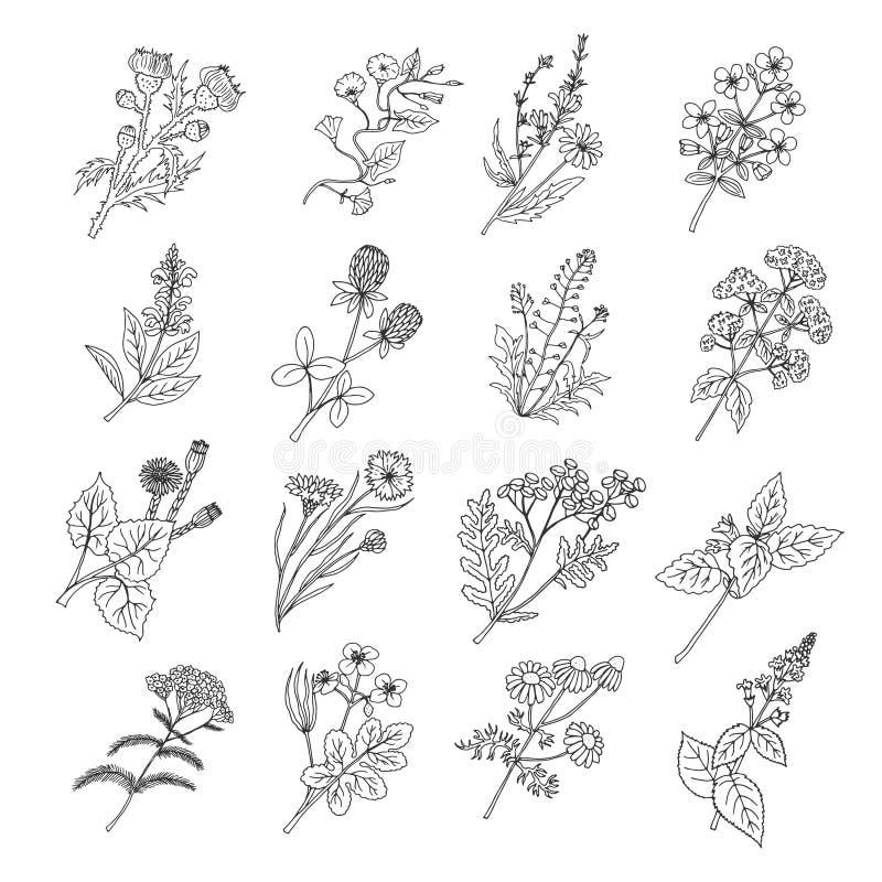 Dibujos de bosquejo botánicos Ejemplo del vector de flores y de hierbas botánicas libre illustration