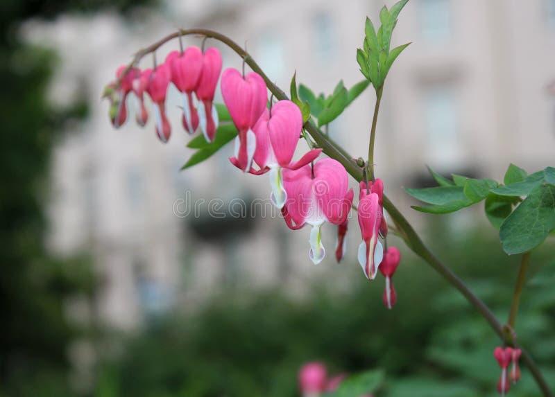 Dic?ntra, una flor en la forma de un corazón contra la perspectiva del paisaje del parque foto de archivo